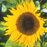 sunflower bhg